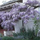 WISTERIA Blue Moon, Purple Flower Fragrant, Well Rooted Seedling 1 Yo #MTV02