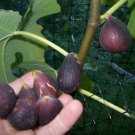 Black Mission Edible Fig Plant #MTV02