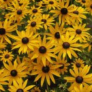 One Black Eyed Susan Rudbeckia Fulgida 1 Year Old Dormant Plant #MTV02