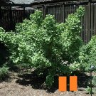 "Ginkgo Biloba ""Thelma"", Male, Grafted, 1 Year Old Plant #MTV02"