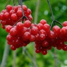 One Highbush Cranberry Plant, Viburnum Opulus, From 2 To 4 Height, Kalina #MTV02