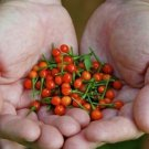 Wiri Wiri Pepper (100 Seeds ) Very Hard To Find - C. frutescens - From Guyana !