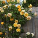 Climbing Rose Bush ,Yellow (1 Plant) Border, Cut Flowers,Ornamental, , Vines