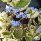 Brunnera Hadspen Cream (1 Plant/division) aka siberian bugloss