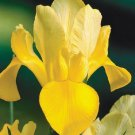 "20 Dutch Iris Bulbs ""Golden Harvest ' eye-catching shapes& beautiful colour"