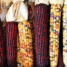 Calico Popcorn Seeds-Zea mays- Heirloom-Untreated -hard to find gourmet popcorn
