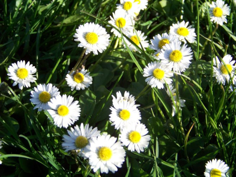 daisy, ENGLISH, dwarf WHITE flower, 400 SEEDS!