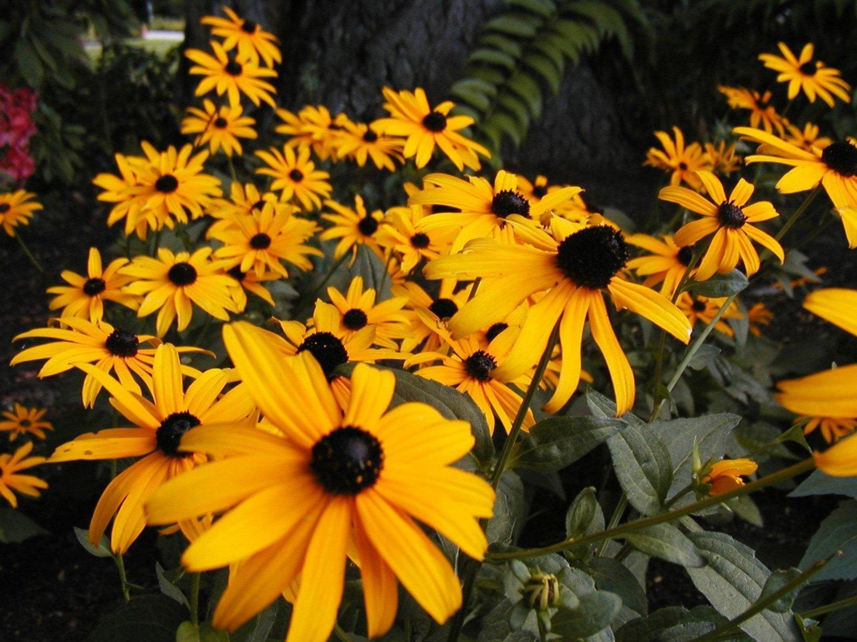 black eyed susan, CUT FLOWER, yellow, 1000 seeds!
