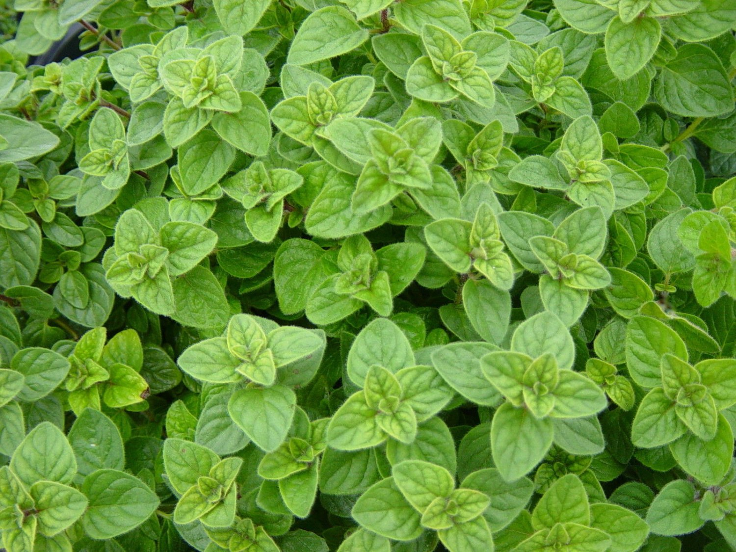 100 Oregano Seeds, Greek, Heirloom Herb, Non-Gmo, Most Flavorful & Aromatic, 100ct