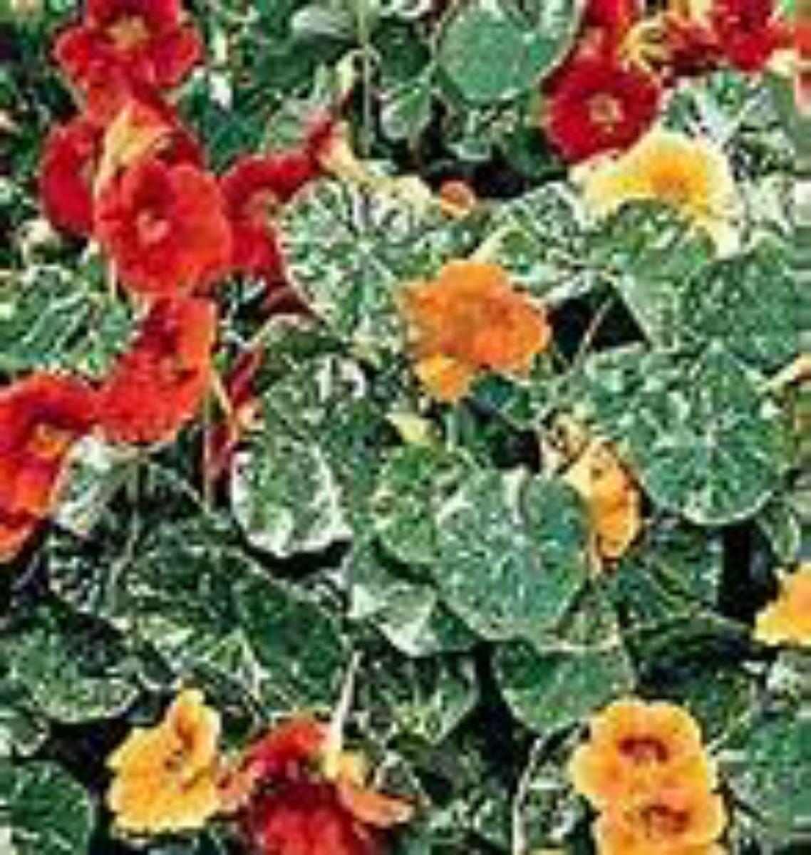 15 Seeds Nasturtium- Variegated Dwarf Alaska Mix! YOU CAN EAT THE FLOWERS!