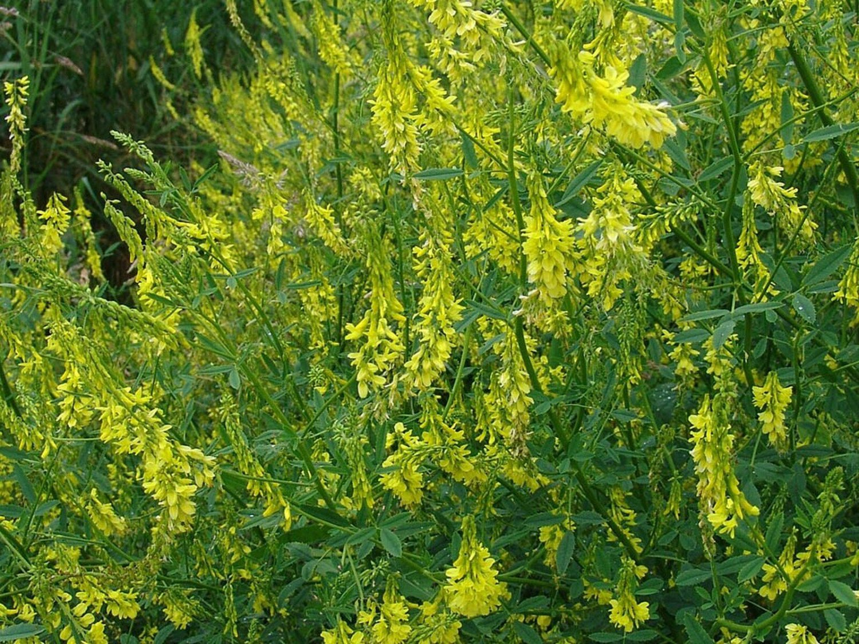 1200 Seeds Clover Sweet Yellow