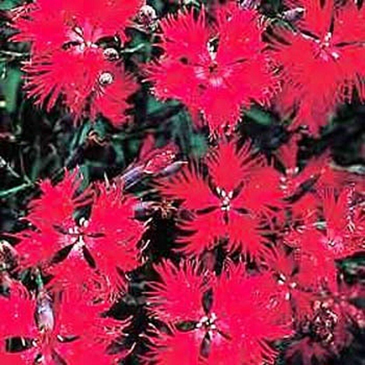 600 Seeds Dianthus Superbus Red