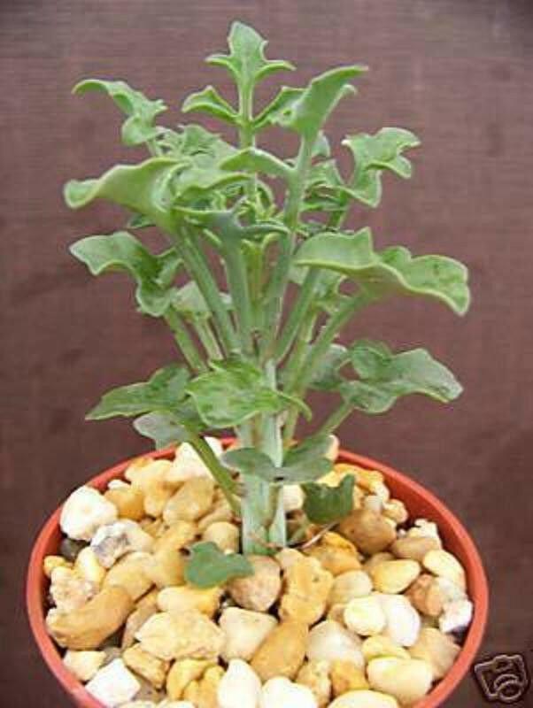 """4"""" Plant Senecio articulatus (Rare hanging basquet flower succulent plant cactus cacti)"""