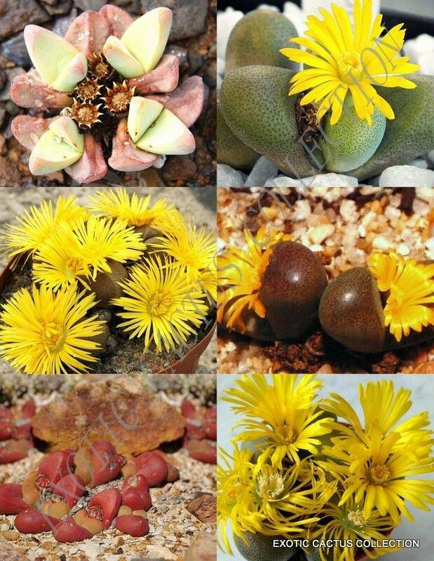 15 SEEDS TANQUANA MIX (Rare succulent cactus EXOTIC living stones desert seed)