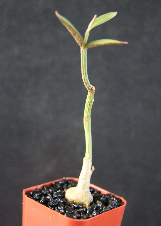 """2"""" Pot Monadenium Rubellum (Exotic rare cactus aloe cacti caudex euphorbia bonsai)"""