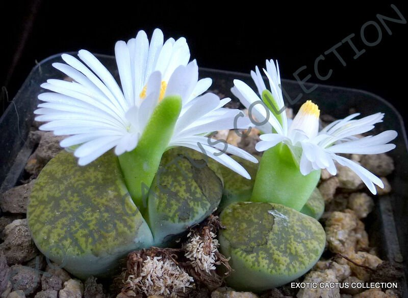 15 SEEDS RARE LITHOPS LESLIEI ALBINICA (Living stone rock cactus cacti seed)
