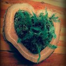 Heart Shaped Live Log Slices - Aromatic Cedar - Ferns - Moss Natural Decor