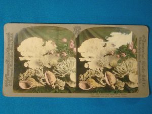 Sea shell coral Universal Photo Art Stereograph stereoview stereoscope card antique 1899 CH Graves