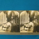 Kandy Ceylon palm botanical garden stereoview stereograph stereoscope card Keystone antique 1910