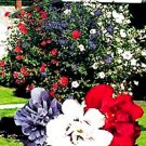 Patriot Rose Of Sharon 2-3'  Spring Sale