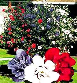Patriot Rose Of Sharon 2-3'  Spring Sale