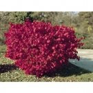 Euonymus Burning Bush