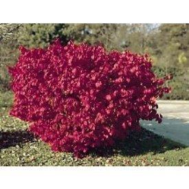 Euonymus Burning Bush