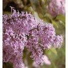 Persian Lilac Schrubs