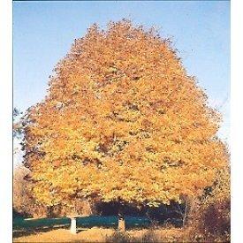 Acer saccharum Sugar maple