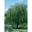 Willow Weeping