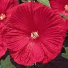 Hibiscus Moscheutos-Deep rose-red