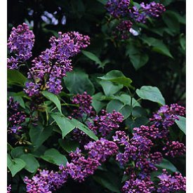Old Fashioned Fragrant Lilac Schrubs