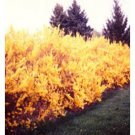 Forsythia Lynwood Gold,