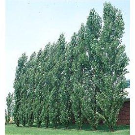 Poplar Hybrid Populus Nigra