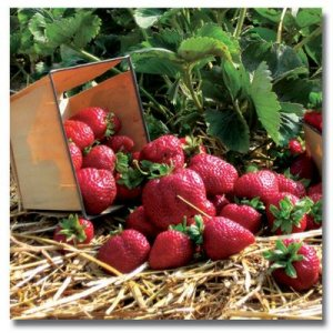 Strawberry Plants - Quinault - Everbearer Lots of 10.
