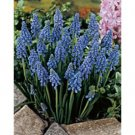 Muscari Armeniacum Sold in bags of 10 BULBS