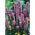 Liatris - Blazing Spicata Limited Supply Left Sold in bags of 5!