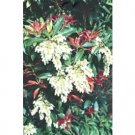 Pieris Japonica Mountain Fire