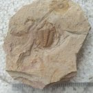 Trilobite fossil #g5