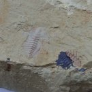 Fossils Trilobite Hongshiyanaspis yiliangensis, teaching,collection... #s31