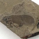 Fossils Insect, teaching,very interest, collection,interest .... #s47