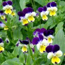 JOHNNY JUMP UP Viola Cornuta - 50,000 Bulk Seeds
