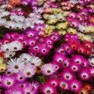 ICE PLANT MIX Dorotheanthus Bellidiformis - 5,000 Bulk Seeds
