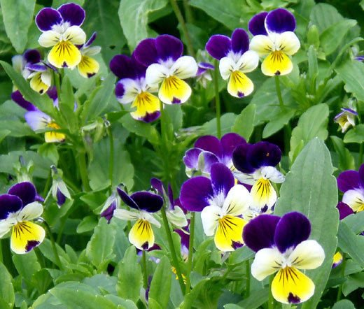 JOHNNY JUMP UP Viola Cornuta - 5,000 Bulk Seeds