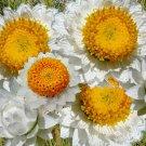 AMMOBIUM Alatum Grandiflorum - 100 Seeds