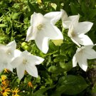 BALLOON FLOWER WHITE Platycodon Grandiflorus - 100 Seeds