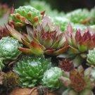 HOUSELEEK Sempervivum Hybridum - 250 Bulk Seeds