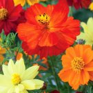 COSMOS SULPHUR MIXED COLORS DWARF Cosmos Sulphureus - 250 Seeds