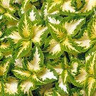 COLEUS WIZARD JADE Solenostemon Scutellarioides - 40 Bulk Seeds