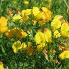 BIRD'S FOOT TREFOIL Lotus Corniculatus- 10,000 Bulk Seeds